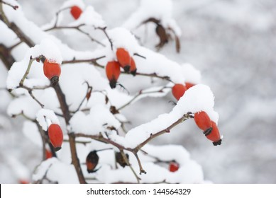 field rose at winter