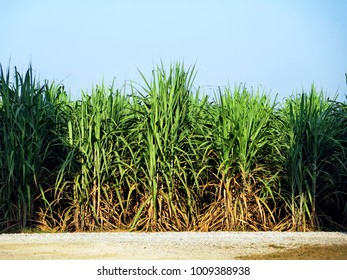 Field of row sugarcane growing in farmland, blue sky background, countryside simplicity, alternative fuel concept