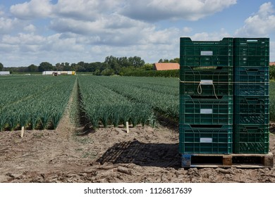 Field with rows of cultivated young leek plants on sandy beds in Dutch soil. The leek nursery grows the leek plants on contract for agriculture businesses. At foreground crates for harvested leeks.