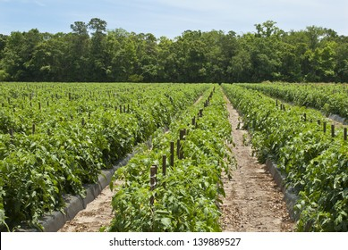 A field of rows of tomato plants on a farm in the Low Country of South Carolina.