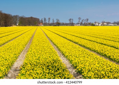 Field with rows of yellow daffodil flowers blooming in spring, house, blue sky in Holland town Lisse, Netherlands