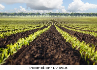 Field with rows of young corn. Agricultural landscape on a sunny day