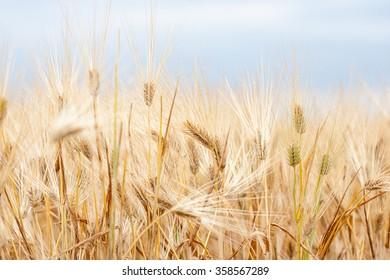 Field rye