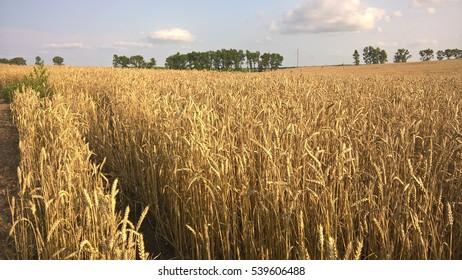 Field of Rye.