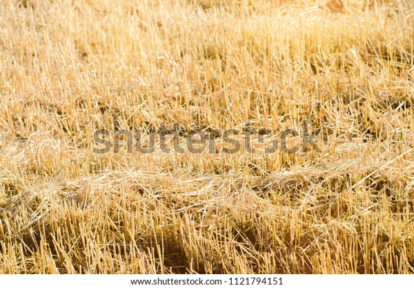 field of rye with beveled strips during harvesting. Summer agriculture rural. Straw from wheat beveled. background for design. farming