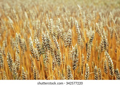 Field of rye. Close up yellow field of rye,agricultural concept.