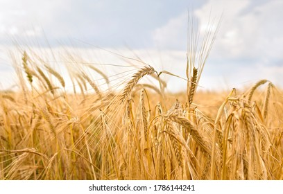 Field rye ( Secale cereale ) in period harvest on background cloudy sky