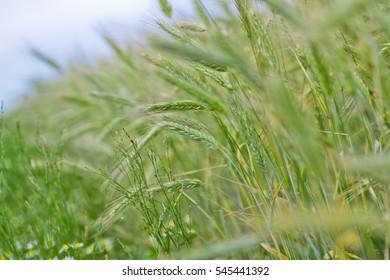 field of rye wheat