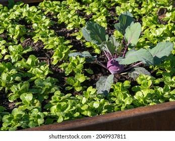 field salad seedlings and kohlrabi in a raised bed
