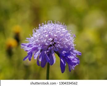 Field scabiosa 'Knautia arvensis'