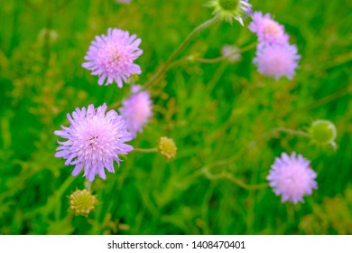 field scabious, knautia arvensis in a meadow