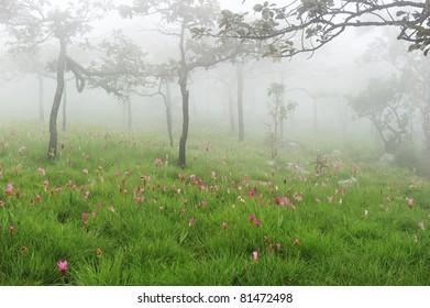 Field of siam tulip in the fog