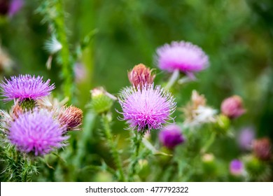 Field with Silybum marianum (Milk Thistle) , Medical plants.