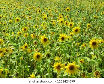 Field of small blooming sunflowers