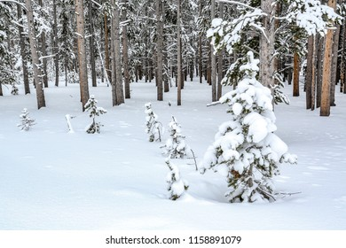 Field of snow with pine trees in winter in Yellowstone