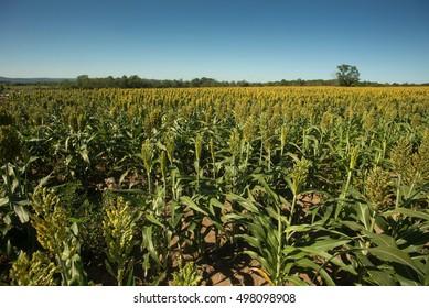 A field of sorghum in Gettysburg
