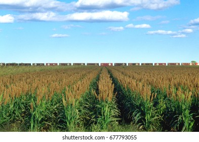 A field of sorghum in West texas with boxcars in the distance.