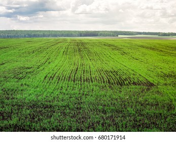Field sown with wheat