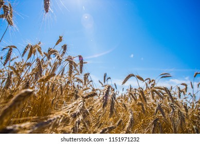 Field sown with wheat, harvesting