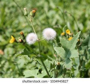 Field sowthistle or Sonchus arvensis with yellow flowers and two white seed head on green background