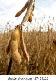 Field of soy bean, intensive farming. Cañada de Gomez, province of Santa Fe, Argentina