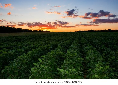 A field of soybeans and a beautiful sunset in Monmouth County New Jersey.