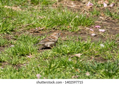Field Sparrow (Ammodramus maritimus) in the Maintenance Meadow of the Ramble