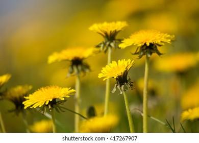 Field of spring flowers dandelions, Dandelion meadow. Yellow dandelion with shallow focus