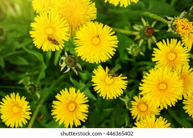 Field of spring flowers. Yellow dandelions in the grass