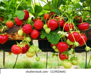 Field of strawberies