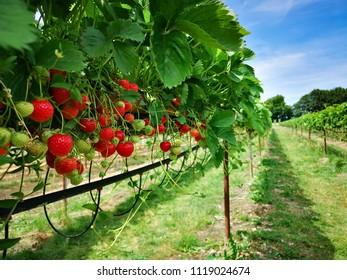 Field of strawberies
