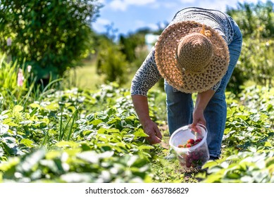 Field with strawberry harvest, farmer picking strawberries, organic farming concept