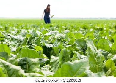 Field of sugar beet plant
