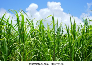 Field of sugarcane on a blue sky in Okinawa, Japan