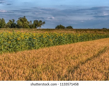 Field of  sun flower and wheat  next to  the embankment