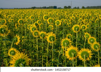 Field of sunflower blossom in a garden, view from back of  yellow petals of flower head spread up and blooming above green leaves, trees on background under cloudy sky