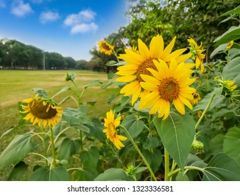 A field of sunflower blossom in a garden, the yellow petals of flower head  blooming above green leaves trees and lawn on background under vivid blue sky and white fluffy clouds