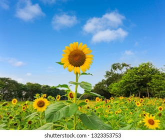 A field of sunflower blossom in a garden, the yellow petals of flower head spread up and blooming above green leaves trees background under vivid blue sky and white fluffy clouds