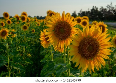 Field of sunflower blossom in a garden, the yellow petals of flower head spread up and blooming above green leaves under cloudy sky