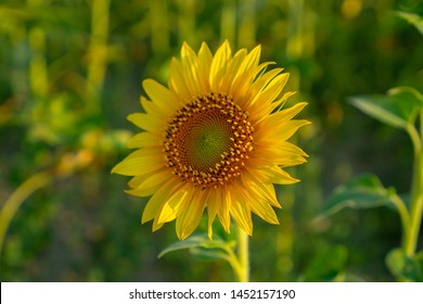 Field of sunflower blossom in a garden, the yellow petals of flower head spread up and blooming above green leaves