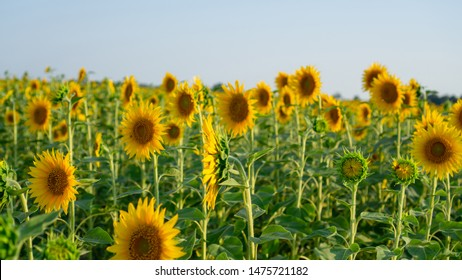 Field of sunflower blossom in a garden, the yellow petals of flower head spread up and blooming above green leaves under cloudy sky , selective focus