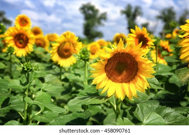 Field of sunflower and blue sky