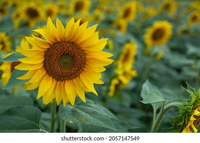 Field of sunflower in the evening