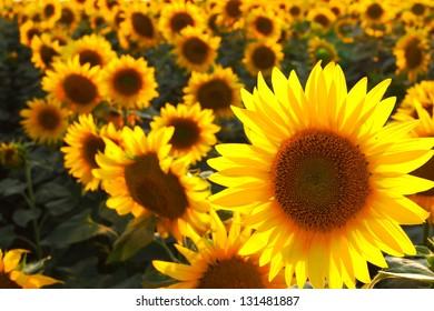 Field of sunflower under the evening light