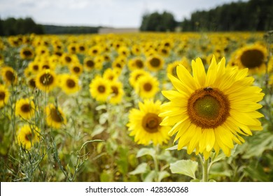 Field of sunflowers/ Field of sunflowers