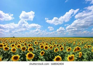 Field of Sunflowers