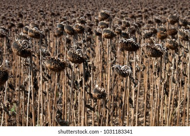 Field of sunflowers after harvesting on the sun