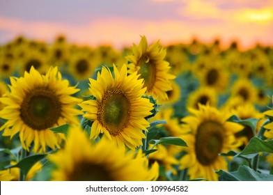 Field of sunflowers against beautiful evening sky