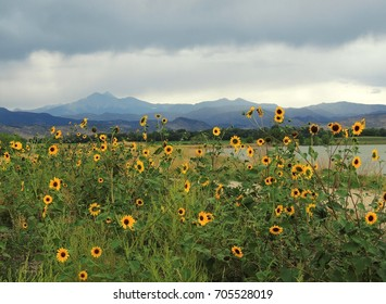 field of  sunflowers and approaching storm  over long's peak at mcintosh  lake in longmont, colorado