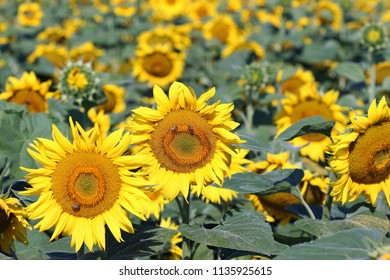 field with sunflowers and bees